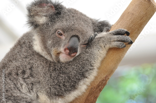 Koala in dreams