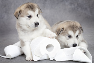 Malamute puppies play with toilet paper
