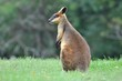 Lonely kangaroo in field