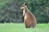 Lonely kangaroo in field