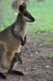 Wallaby kangaroo with joey