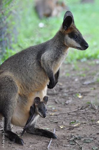 Wallaby kangaroo with joey