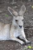 Resting young australian kangaroo