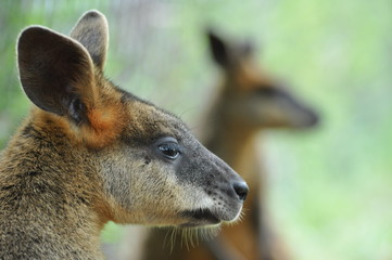 Wallaby kangaroo profile portrait