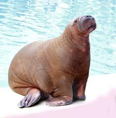 walrus in zoo