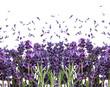 obraz - fresh lavender flo...