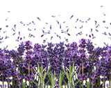 Fototapety fresh lavender flowers on white