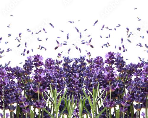 swieze-kwiaty-lawendy-na-bialym-tle