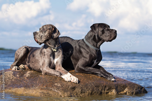 Two mastiff dogs on rock in sea