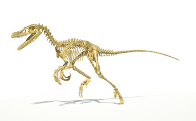 Velociraptor dinosaur, full skeleton scientifically correct, per