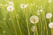 Fototapete Blume - Wiese - Hintergrund
