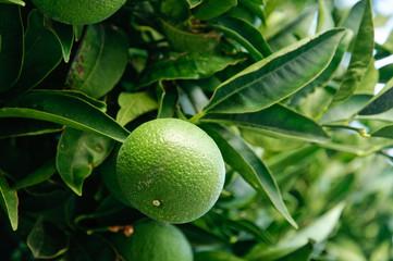 Arancio acerbo sulla pianta