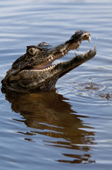 Brown Caiman