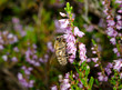 honeybee on heather flowers