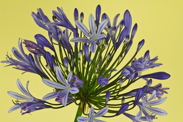 A close up of an African Lily in full bloom