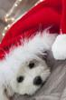 Bichon Noël