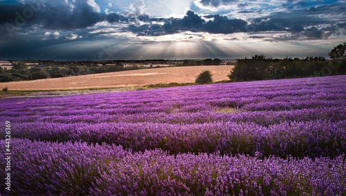 Piękne Lawendowe pole krajobraz z dramatycznego niebo