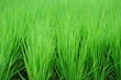 Rice field-13