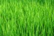 Rice field-14