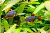 Aquarium fish - celestial pearl danio
