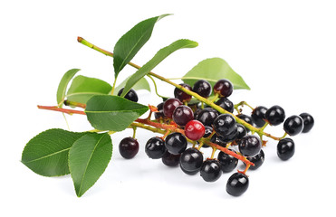 Branch of a ripe bird cherry