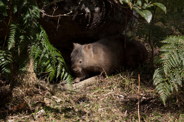 Australian wild wombat in bushland