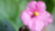 Defocused. Rose violets.