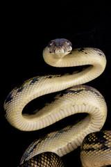 Scrub python / Morelia amethistina