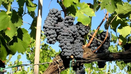 Grappoli di uva nera, Ciliegiolo - Row of black grapes