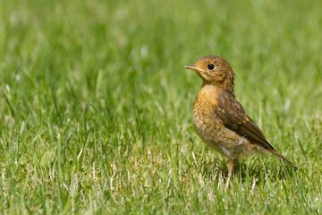 Young European Robin