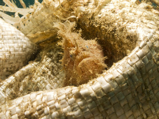 A Hairy Frogfish in a bag, Lembeh Strait, Sulawesi.