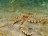 Mimic Octopus, Lembeh Strait, Sulawesi. poster