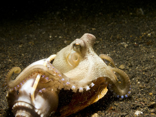 Coconut Octopus coming out of a seashell,  Lembeh Strait.