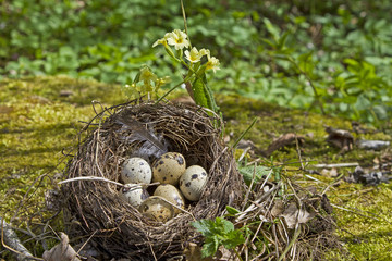 Vogelnest mit Eiern