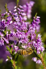 Biene Honig Heidehonig