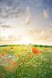 Mohnblumenfeld im Sonnenuntergang Gegenlicht