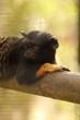 tamarin lion pattes dorées
