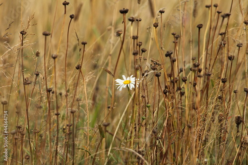 One white daisy among the yellow withered stalks of plants