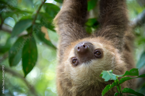 Two-toed sloth - 44367913
