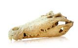 Saltwater crocodile skull, clipping path poster