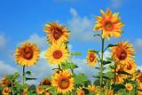 Fototapeta Большое поле желтых подсолнухов