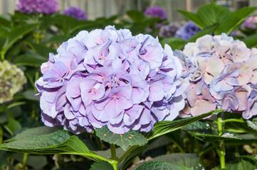 Flowering Hydrangeas in a Dutch Hydrangea nursery