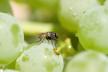 fly on green grape