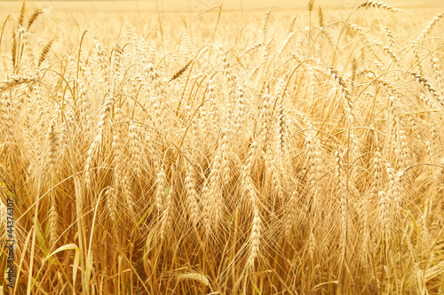 Close up of ripe wheat ears - 44376307