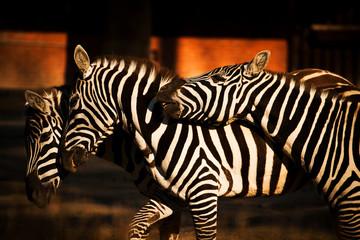 tree zebra
