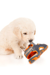 Golden retriever puppy gnaws sandal