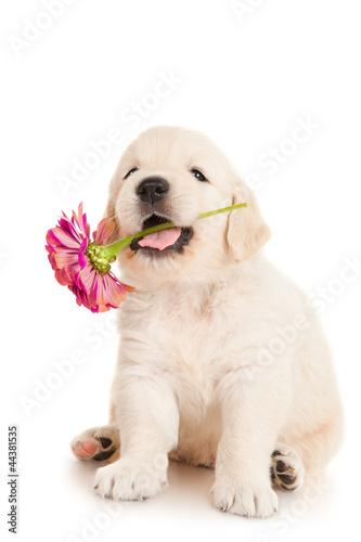 Golden retriever puppy with flower