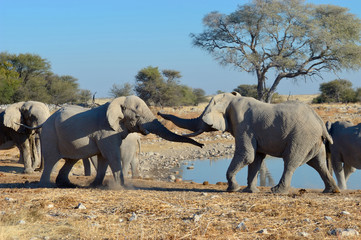 Elephant squabble, Etosha National Park, Namibia