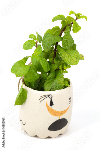 Lemon balm herb leaf posy isolated  on the cup