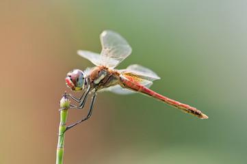 libellula2
